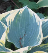 2010 Hosta of the Year - Hosta 'First Frost'