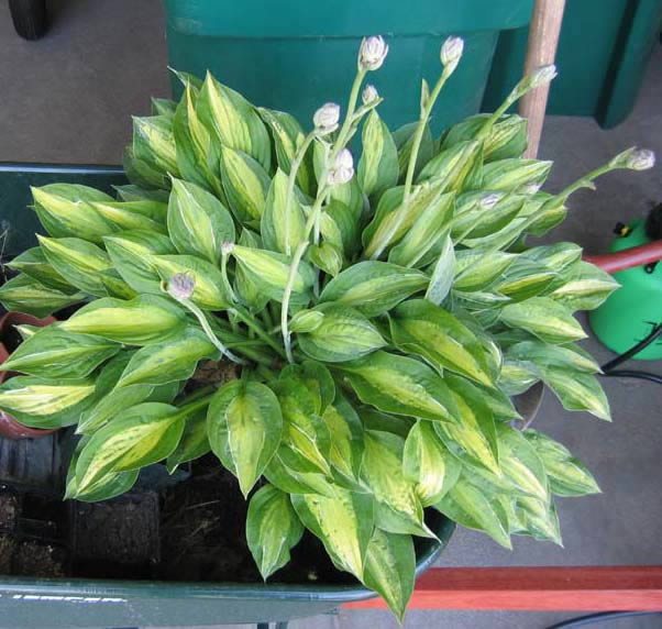Hosta Striptease Infected With Virus X