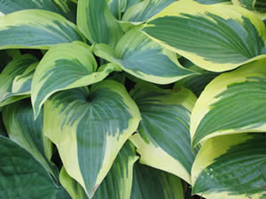 Hosta Wolverine and Hosta Queen Josephine