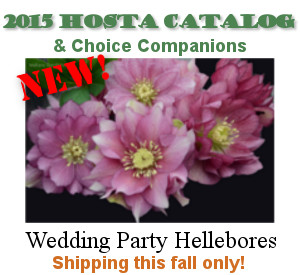New Wedding Party double flowered hellebores shipping this fall.