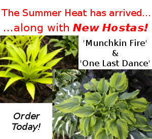 New Hostas for the summer!