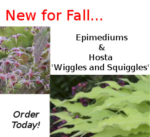 New: Epimediums and Hosta Wiggles and Squiggles