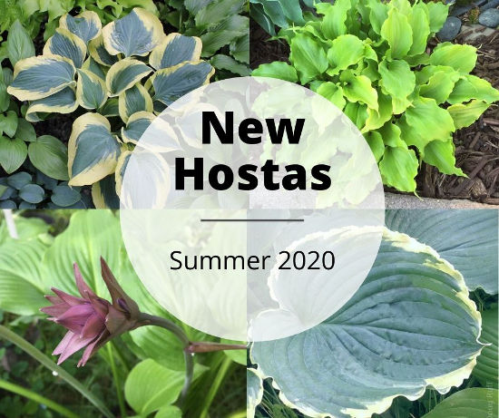 New Hostas - Summer 2020