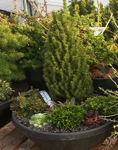 Dwarf conifers in container