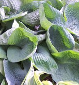 2014 Hosta of the Year - Hosta Abiqua Drinking Gourd