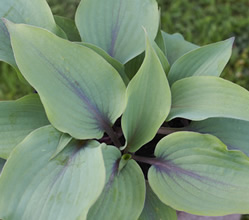 Hosta Blushing Blue
