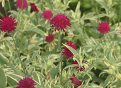 Knautia Thunder and Lightning