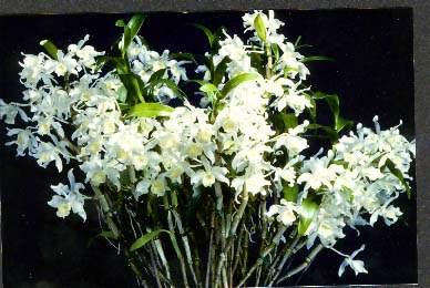 Дендробиум Уход за орхидеей в домашних условиях фото видов